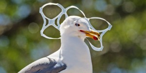 Seagull Trapped in Plastic